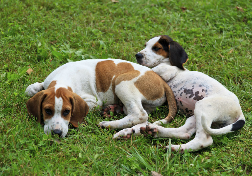 8 Interesting Things To Know About Hound Dogs